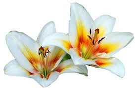 lillies white